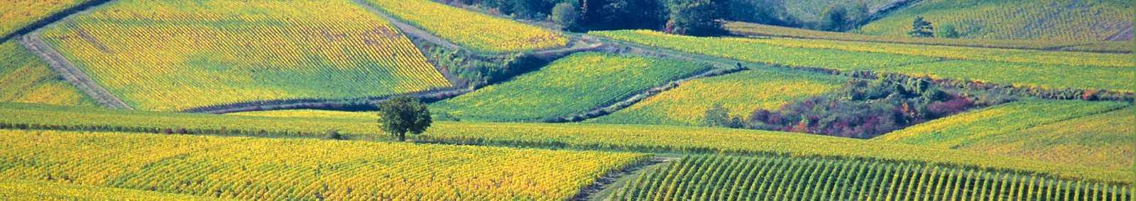chablis-vineyard