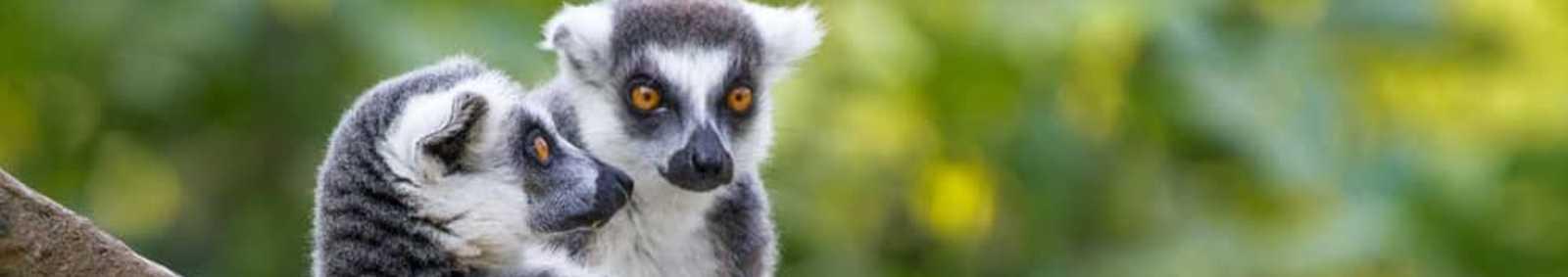 Lemur in Madagascar