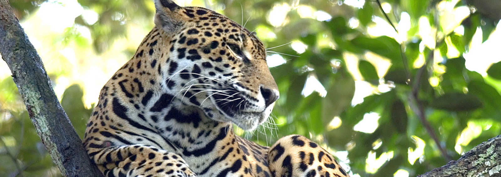 The rare Jaguar in San Ignacio region, Belize