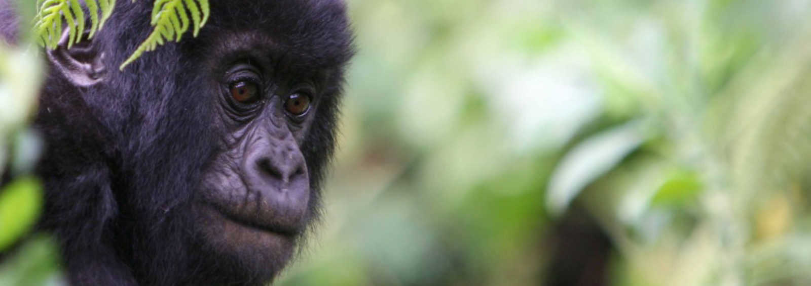 Gorilla in Virunga Mountains, Rwanda