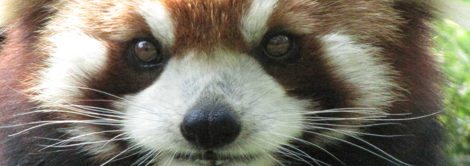 Red Panda, China