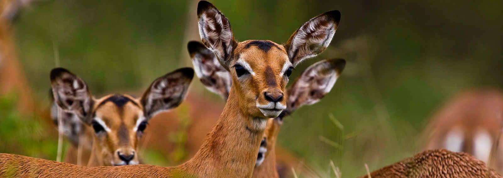 Impalas, Kruger NP