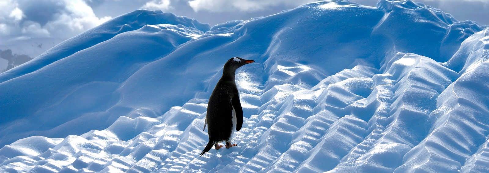 Gentoo penguin on ice