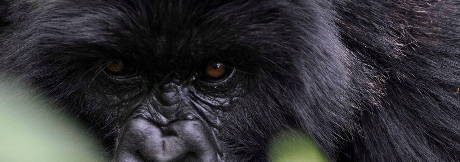Mountain gorilla, Rwanda