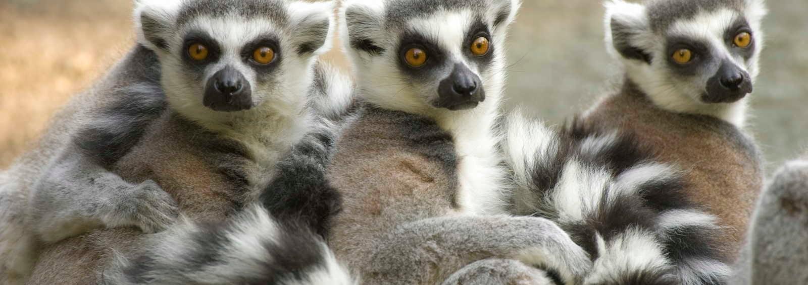 Ring-tailed lemurs, Madagascar