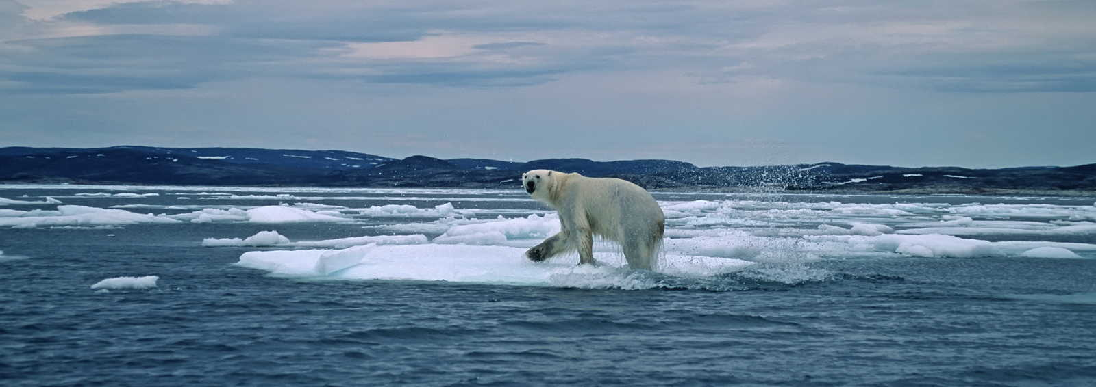Polar Bear, Canadian Arctic
