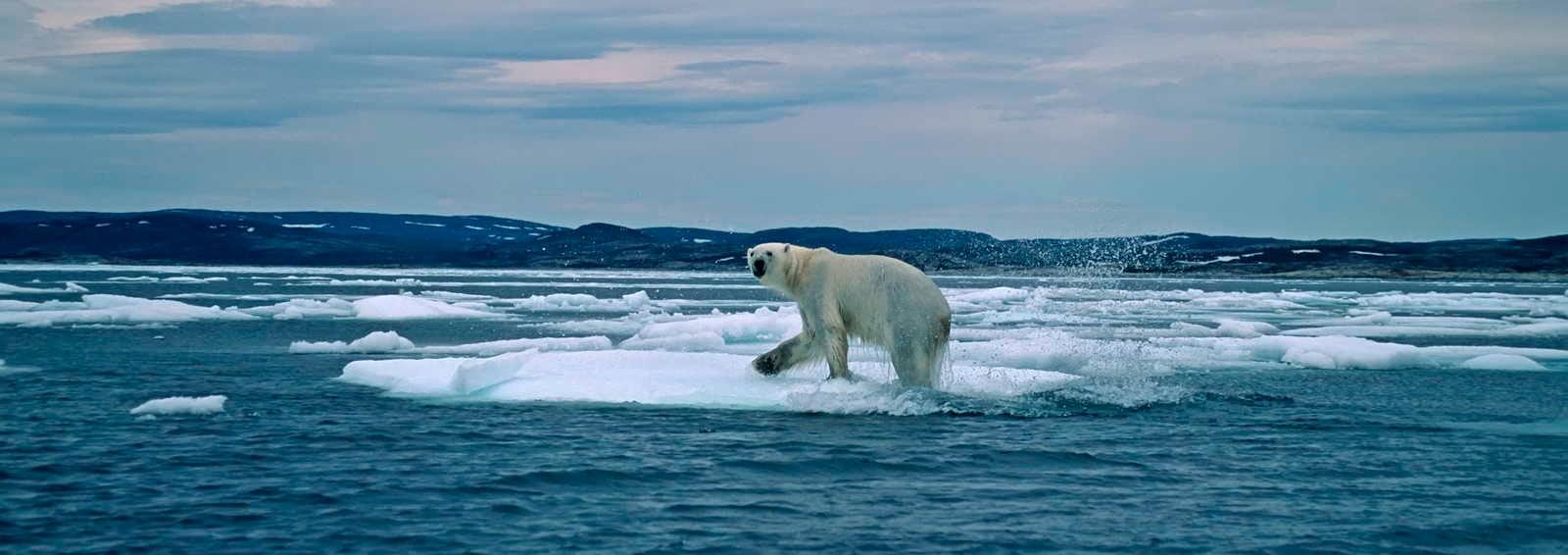 Polar Bear, Canadian Arctic