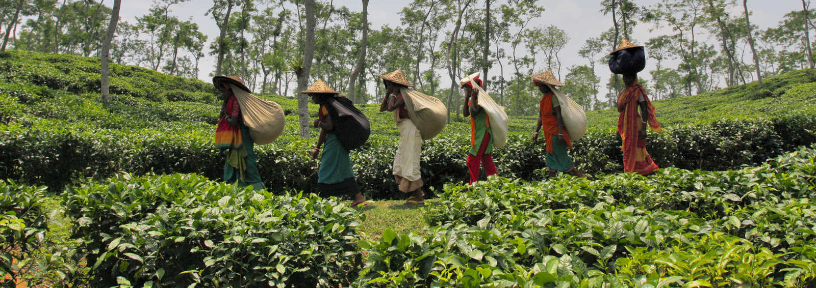 A group of women carrying tea leaves on their backs in a tea garden in Srimangal in Moulvibazar district