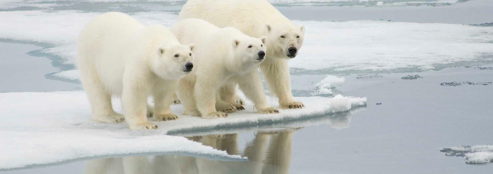 Polar bears, Arctic