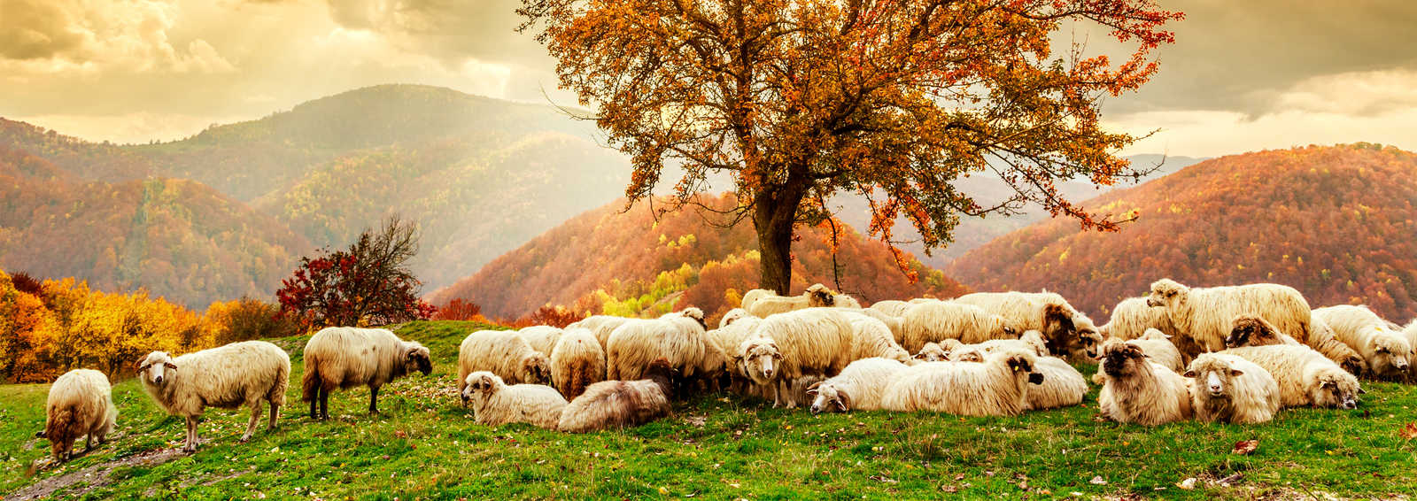 Flock of sheep in the Carpathian Mountains, Romania