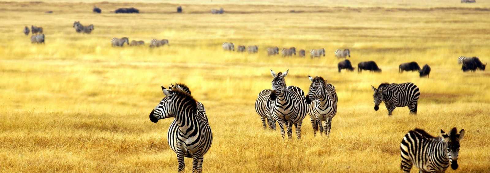Zebra's in Africa walking on the Serengeti, Tanzania