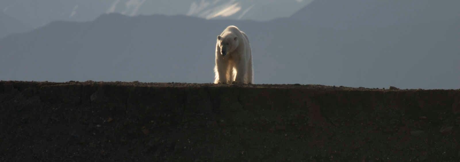 Polar bear, Spitsbergen (Svalbard), Norway