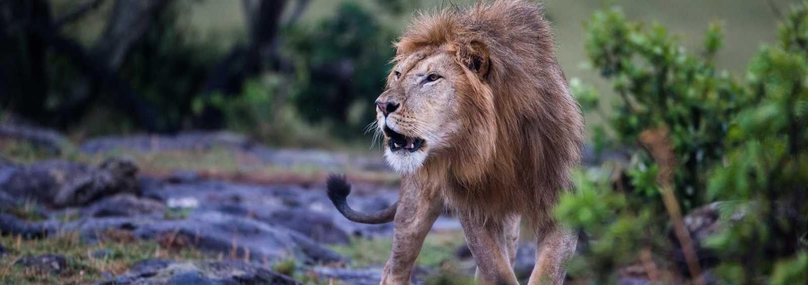 A Lion on the Masai Mara, Kenya