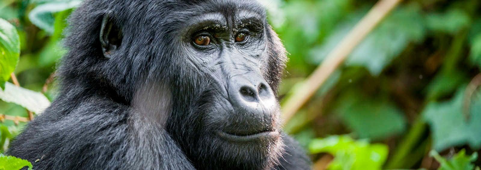 Close up portrait of a mountain gorilla (beringei beringei) at a short distance in natural habitat. Bwindi Impenetrable Forest National Park, Uganda.