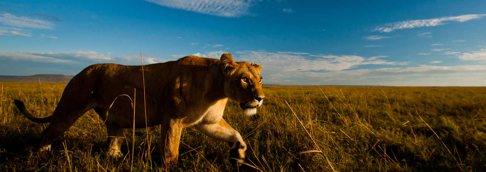 Lion on Safari in Africa