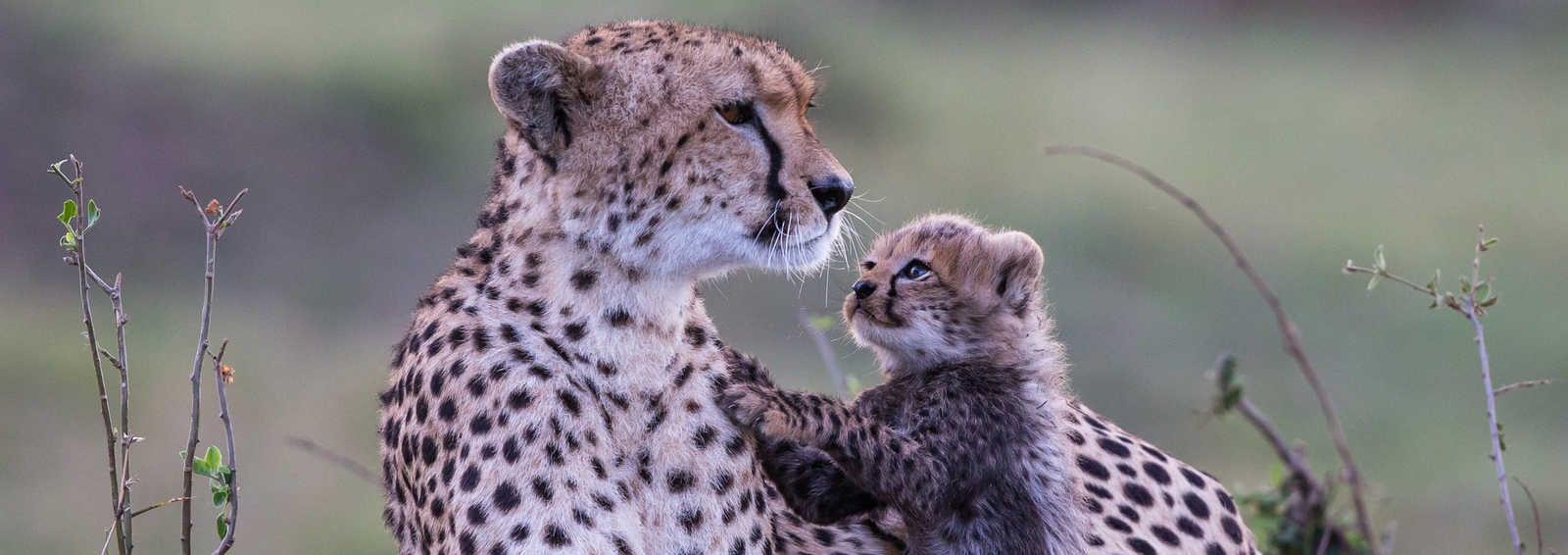Cheetah and cubs, Masai Mara - Copyright Paul Goldstein
