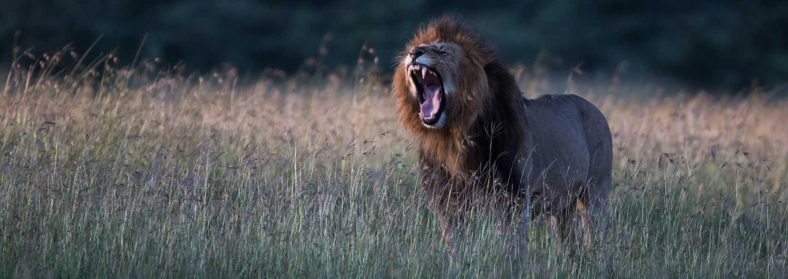 Lion, Masai Mara by Paul Goldstein