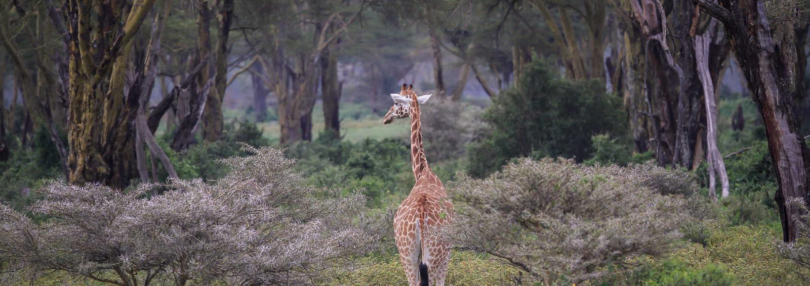Rothschilds Giraffe in Lake Nakuru, Kenya