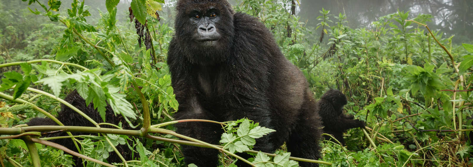 Short Breaks - See the gorillas