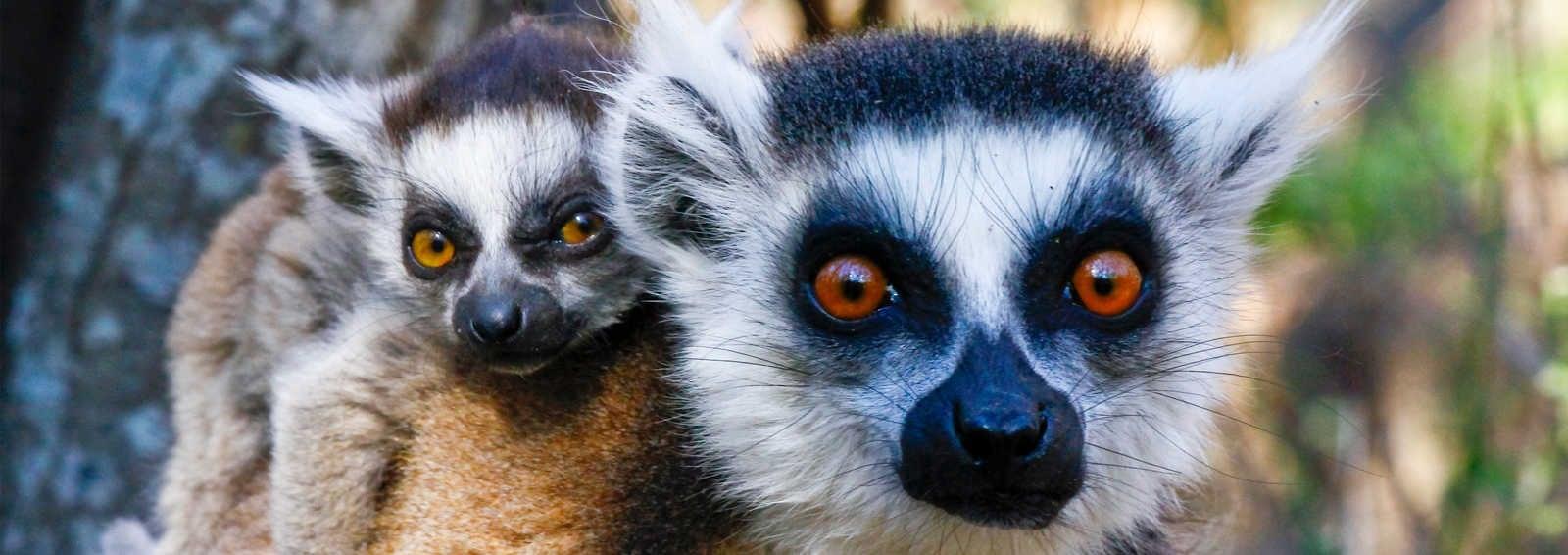 Ring-tailed lemur (lemur catta) and cute cup, Madagascar