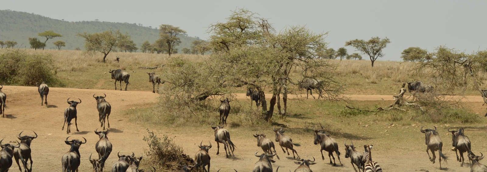 Wilderbeast in Tanzania