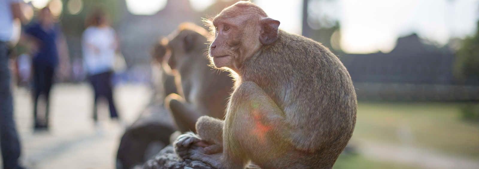 Monkey at Angkor Wat temple, Cambodia