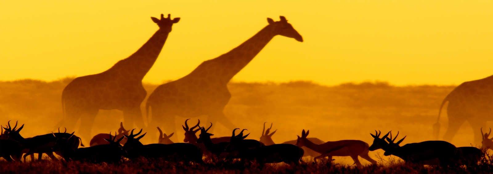 Springboks and giraffes at sunset in Etosha National Park, Namibia