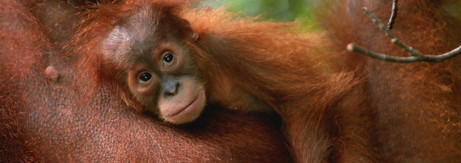 Baby orang utan (Pongo pygmaeus) resting on it's mother's chest, close up, Gunung Leuser N.P, Indonesia