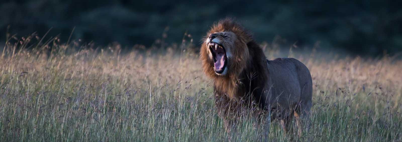Call of the Wild - Lion, Kenya