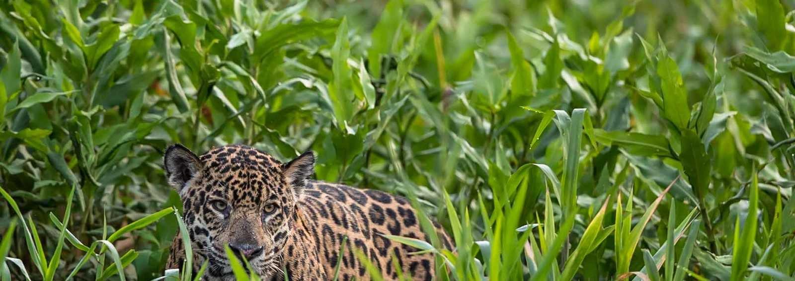 Jaguar in the Pantanal, Brazil (Image by Paul Goldstein)
