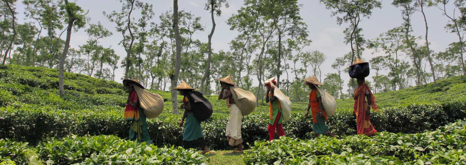 A group of women carrying tea leaves on their backs in a tea garden in Srimangal in Moulvibazar district.