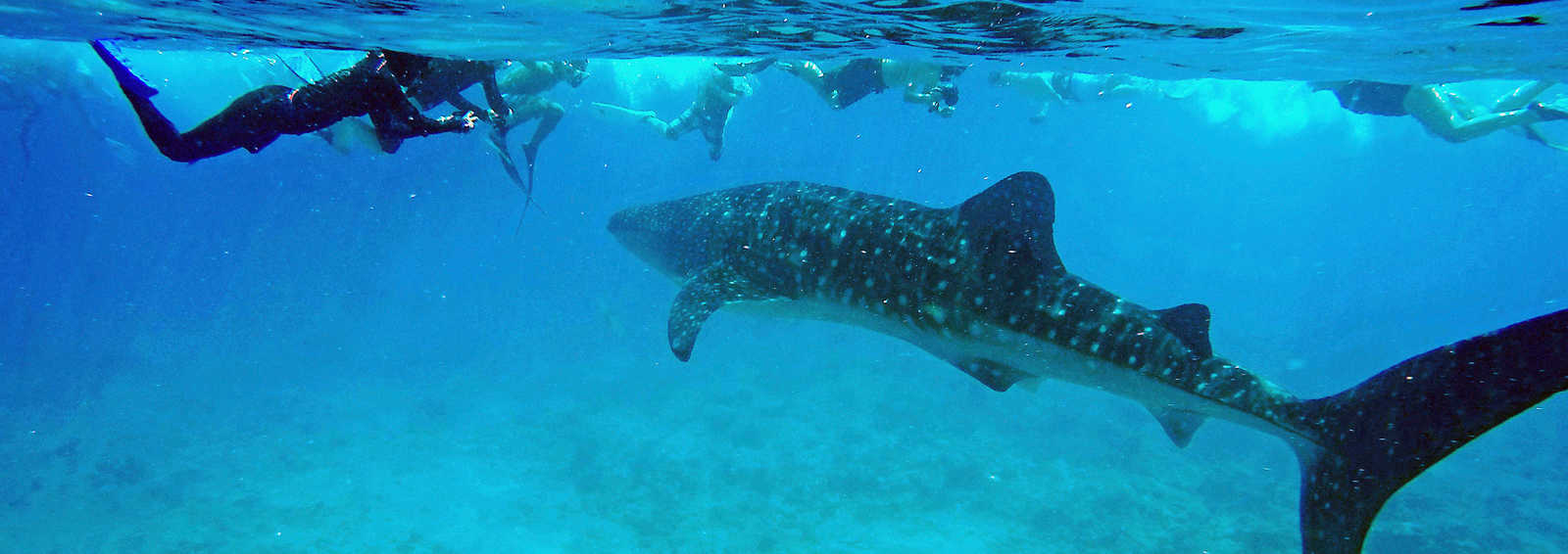 Snorkelling with Whale shark, Indian Ocean, Maldives