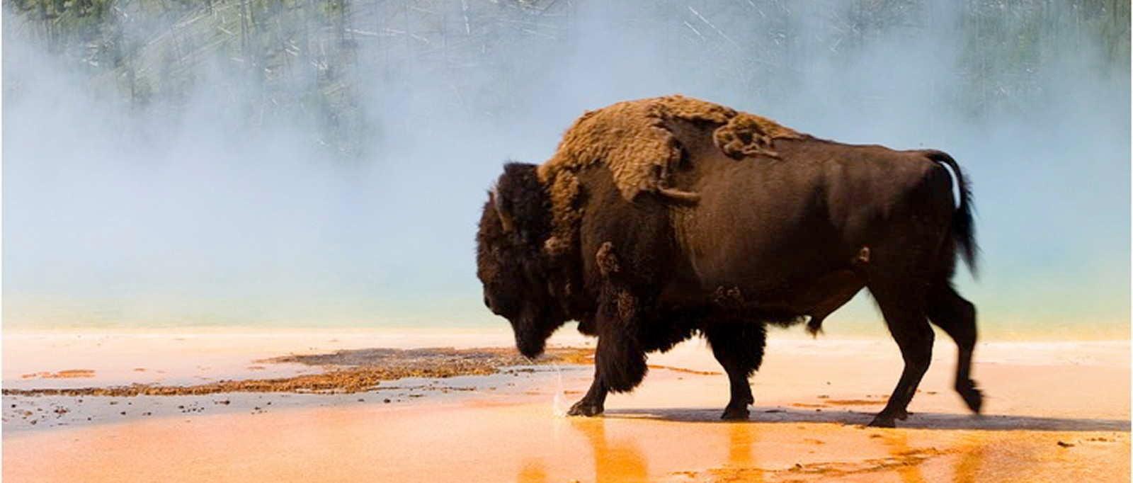 Buffalo in Yellowstone National Park, Wyoming, USA