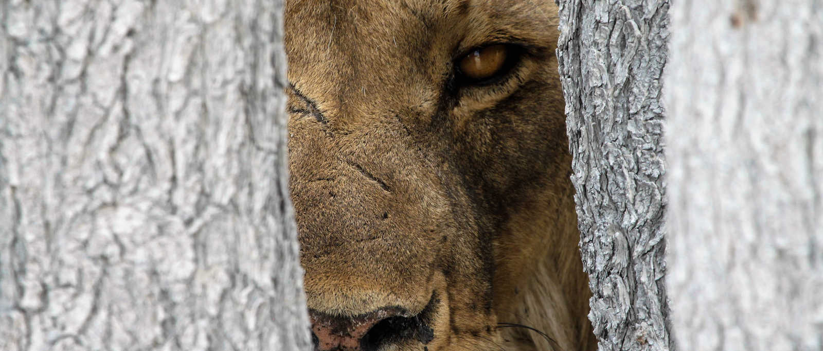 Lion in Namibia - Client Photo Winner