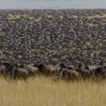 One or two wildebeest wandered past...