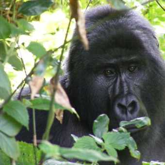 Face to Face - Bwindi Impenetrable NP