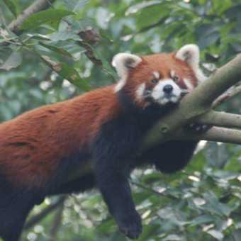 red-panda-tastic