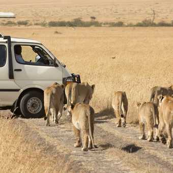 A pride of Lions strolling around in Masai Mara
