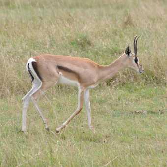 grants gazelle