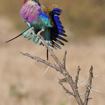 Lilac-breasted Roller showing its colourful feathers