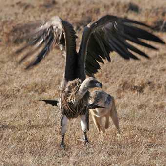 Jackal gets closer to Vulture