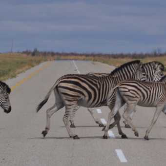 Zebra crossing Botswana style