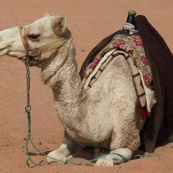 Happy camel