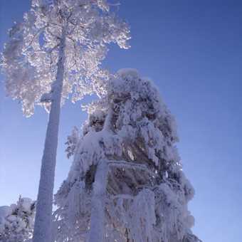 Snow laden trees