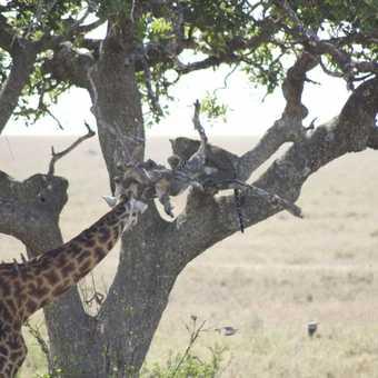 Giraffe and Leopard encounter