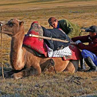 Loading the camels