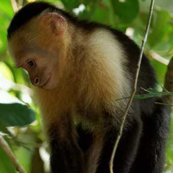 White-faced Capuchin, beach in Manuel Antonio National Park (3)