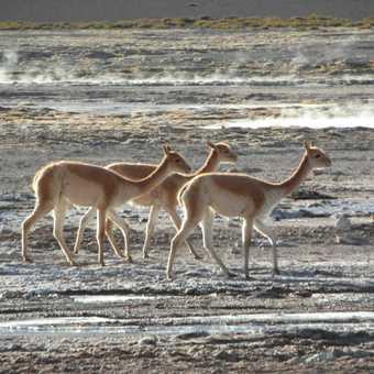 Guanacos crossing el Tatio geyse field