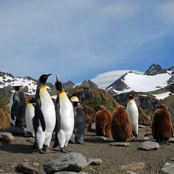 penguin families s. georgia