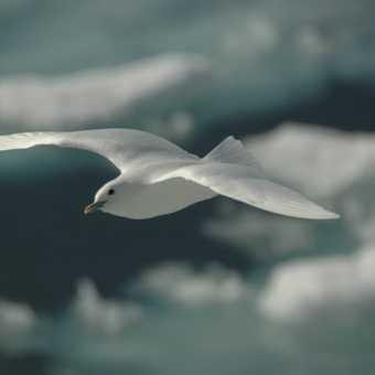 Flying Ivory Gull
